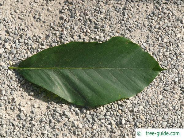 Japanese Beech leaf
