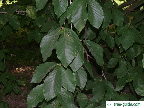 Japanese Beech leaves