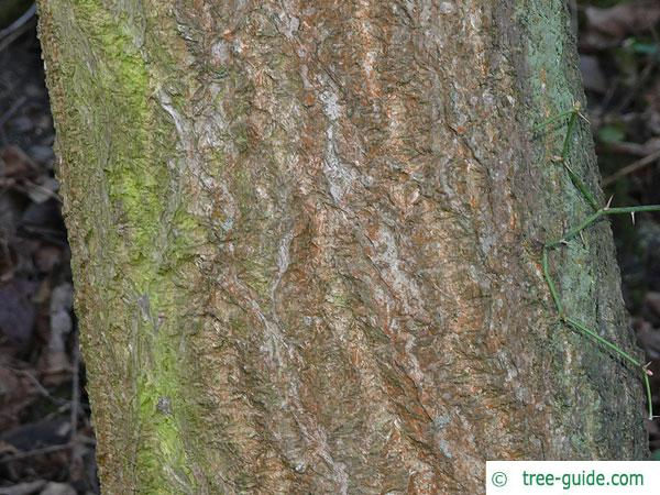 japanese cork tree (Phellodendron japonicum) trunk / bark