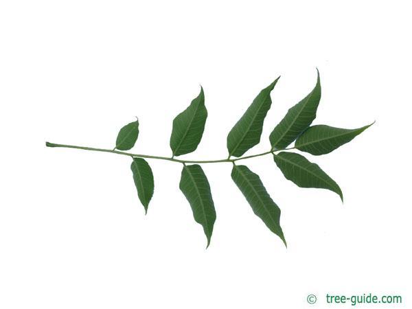 japanese cork tree (Phellodendron japonicum) leaf underside