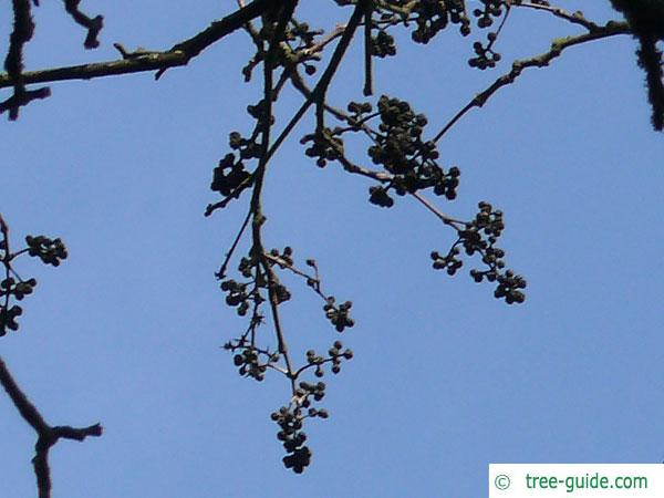 japanese cork tree (Phellodendron japonicum) fruits in winter