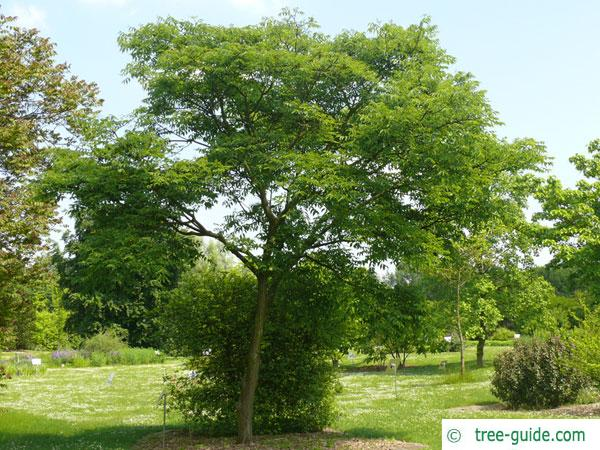 japanese cork tree (Phellodendron japonicum) tree in summer