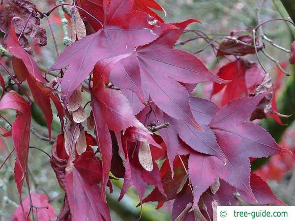 japanese maple (Acer palmatum 'Ozakazuki') in autumn