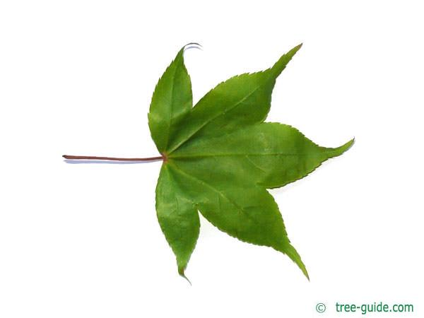 japanese maple (Acer palmatum 'Ozakazuki') leaf unterside
