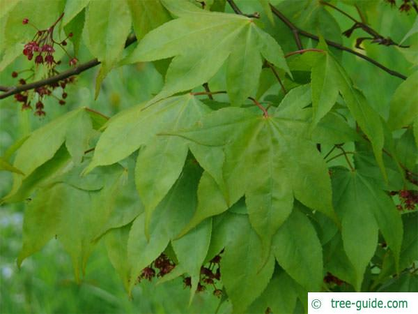 japanese maple (Acer palmatum 'Ozakazuki') leaves