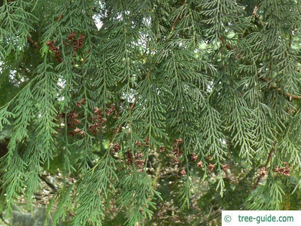 japanese thuja (Thuja standishii) branches