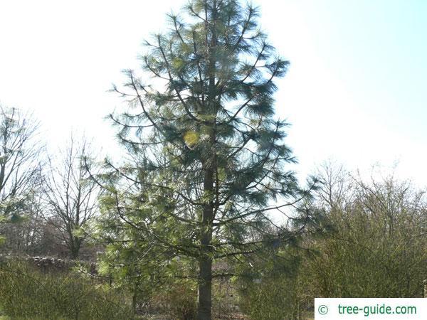 jeffery pine (Pinus jeffreyi) tree