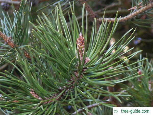 jersey pine (Pinus virginiana) branch