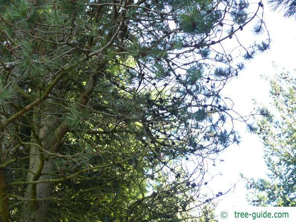 jersey pine (Pinus virginiana) tree