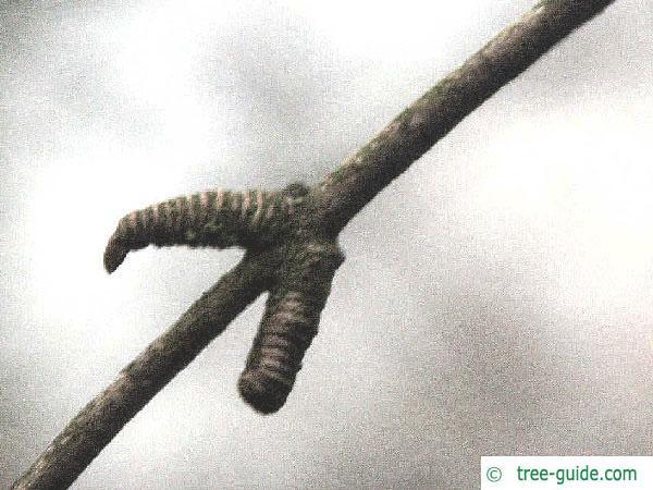 katsura (Cercidiphyllum japonicum) axial bud