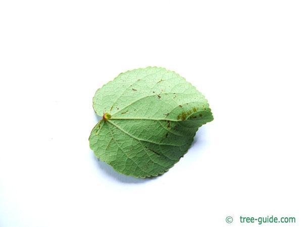 katsura (Cercidiphyllum japonicum) tree leaf underside
