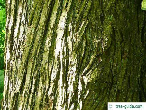 katsura (Cercidiphyllum japonicum) trunk / bark