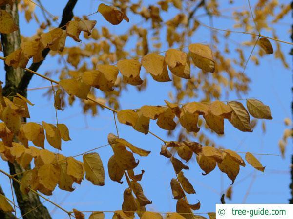 kentucky coffee tree (Gymnocladus dioicus) autumn foliage
