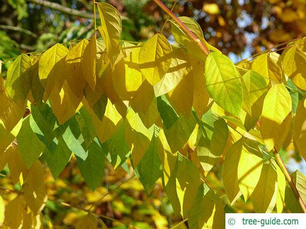 kentucky coffee tree (Gymnocladus dioicus) leaves in autumn