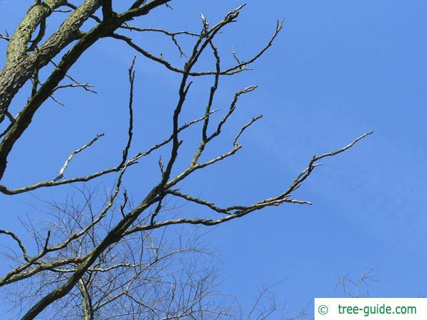kentucky coffee tree (Gymnocladus dioicus) branches