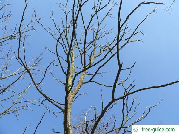 kentucky coffee tree (Gymnocladus dioicus) crown winter 2