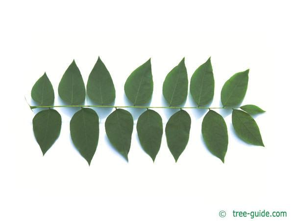 kentucky coffee tree (Gymnocladus dioicus) leaf underside