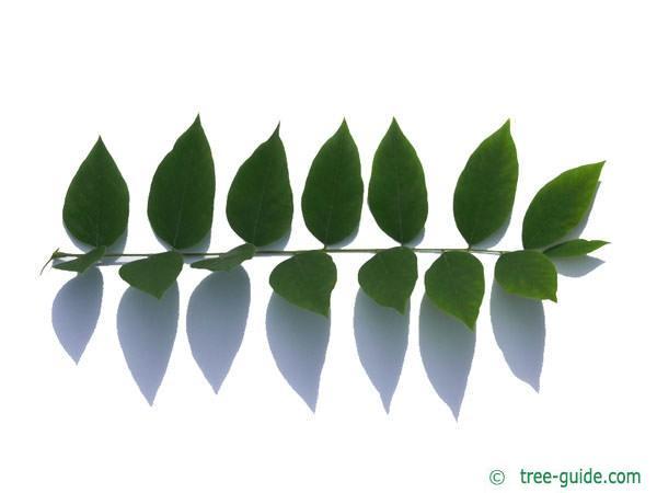 kentucky coffee tree (Gymnocladus dioicus) leaf