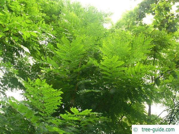 kentucky coffee tree (Gymnocladus dioicus) leaves 2