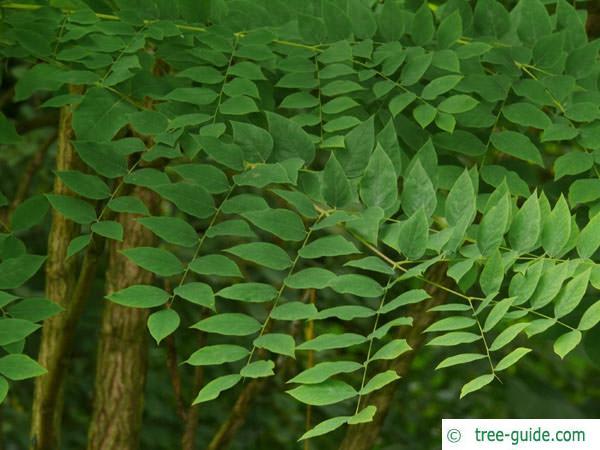 kentucky coffee tree (Gymnocladus dioicus) leaves