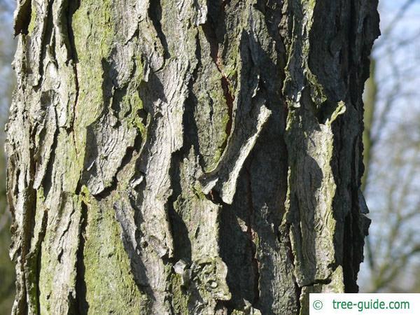 kentucky coffee tree (Gymnocladus dioicus) trunk / bark