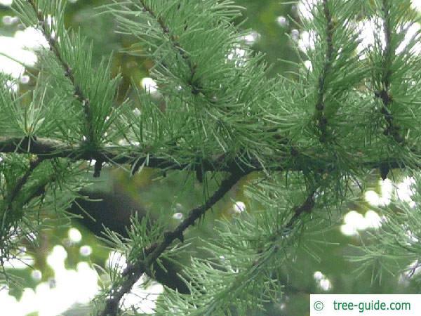 larch (Larix decidua) branch