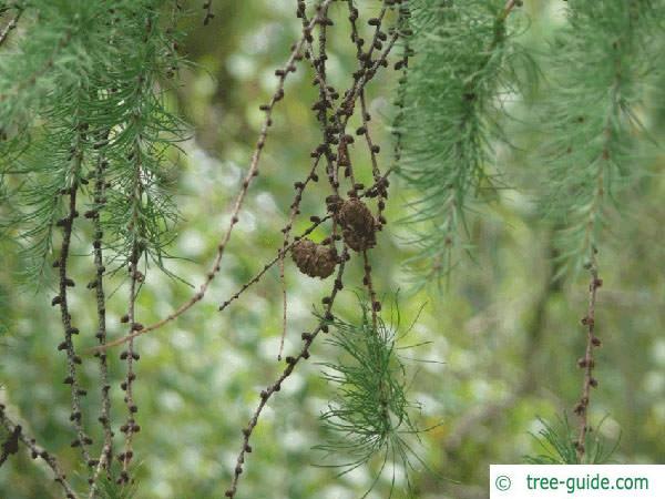 larch (Larix decidua) cones in Summer