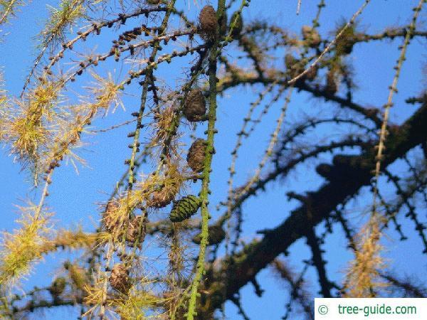 larch (Larix decidua) branches in autumn