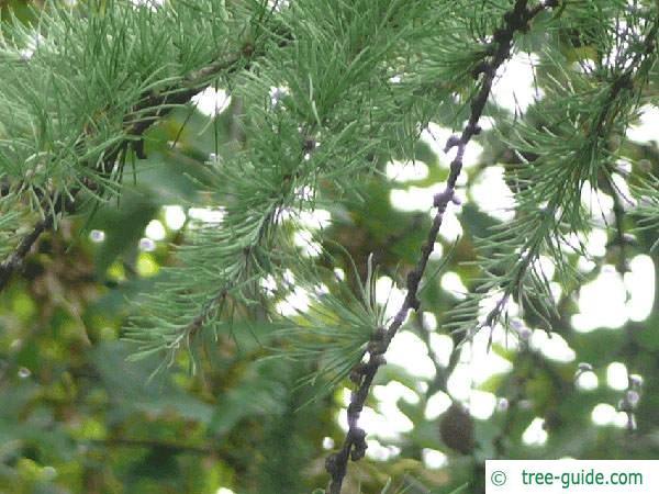 larch (Larix decidua) branches in summer