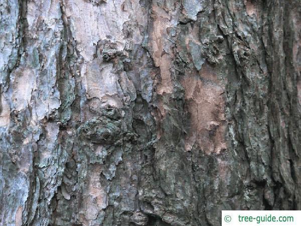 larch (Larix decidua) trunk
