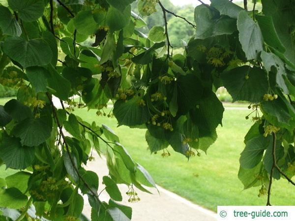 large leaved lime (Tilia platyphyllos) foliage