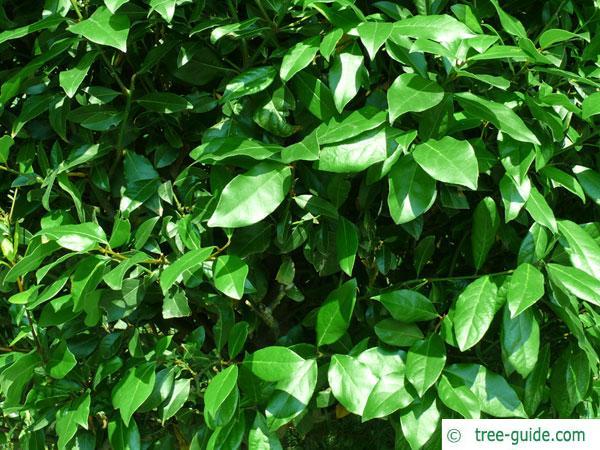 laurel (Laurus nobilis) leaves