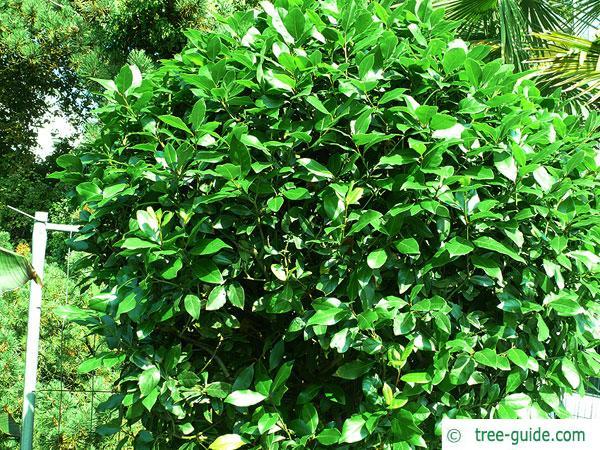 laurel (Laurus nobilis) tree