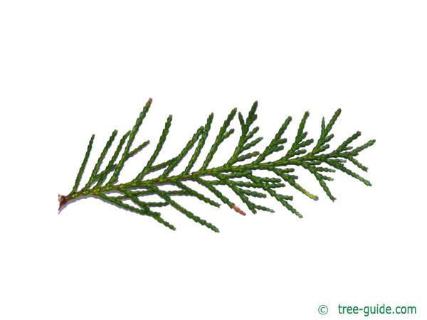Lawson's Cypress (Chamaecyparis lawsoniana 'Glauca') needles