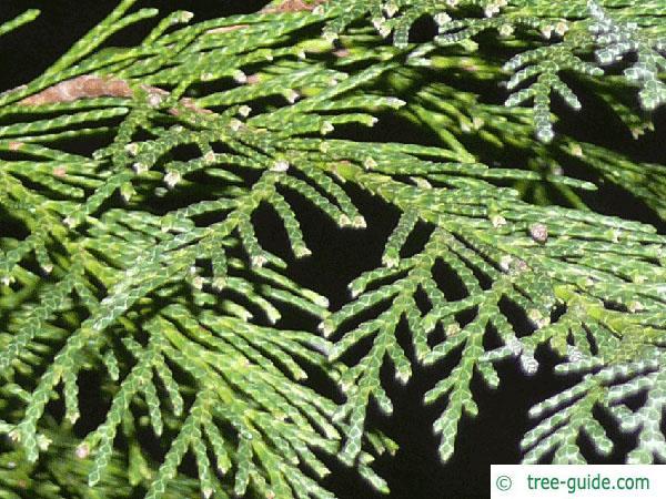 Lawson's Cypress (Chamaecyparis lawsoniana 'Glauca') branches