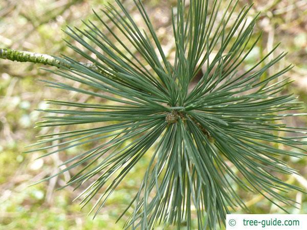 limber pine (Pinus flexilis) needle arrangement