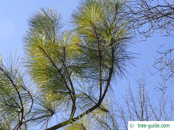 loblolly pine (Pinus taeda) branches and twigs