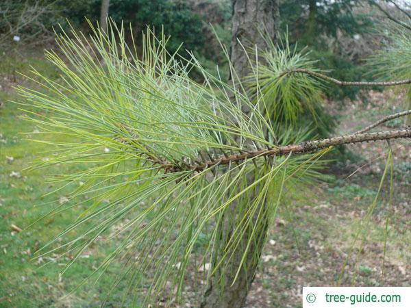 loblolly pine (Pinus taeda) branch