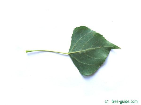 lombardy poplar (Populus nigra 'Italica') leaf underside