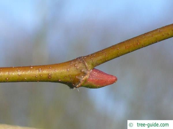 london plane tree (Platanus acerifolia) axial bud