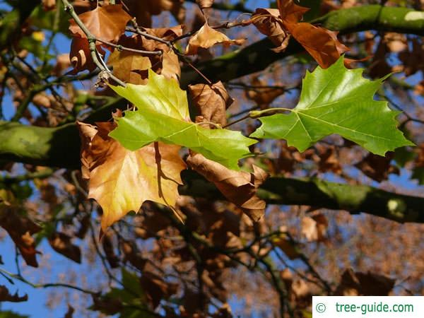 london plane tree (Platanus acerifolia) leaves autumn