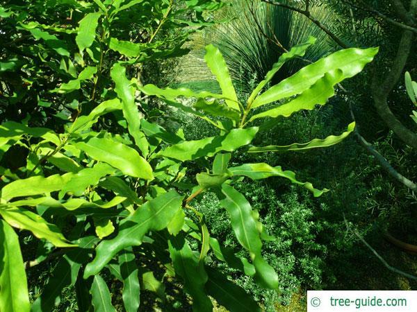 Macadamia Nut (Macadamia ternifolia) leaves