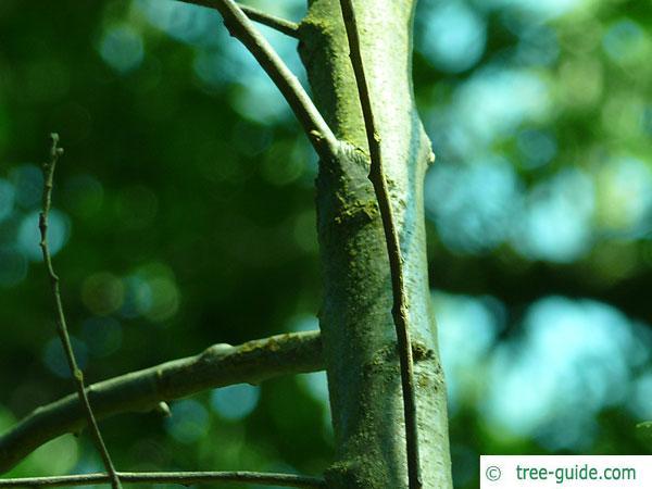 macedonian oak (Quercus macedonicus) bark of a young tree
