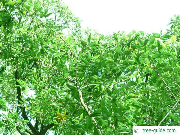 macedonian oak (Quercus macedonicus) crown in summer
