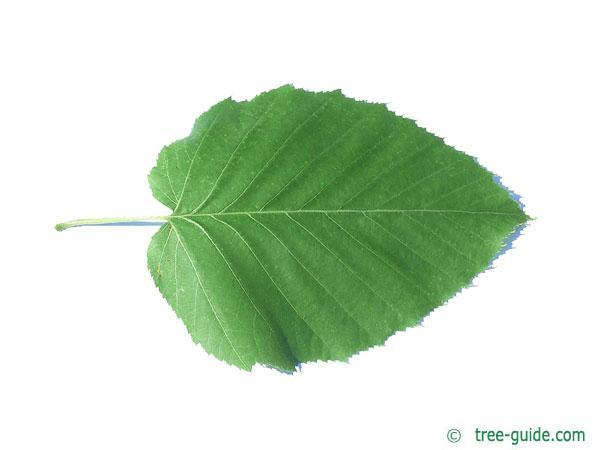 maximowicz birch (Betula maximowicziana) leaf