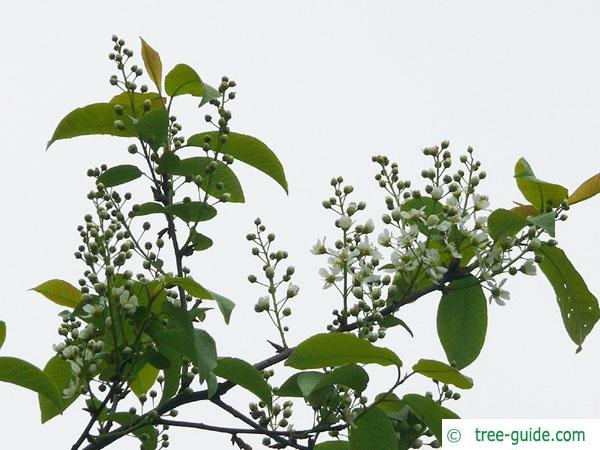 bird cherry (Prunus padus) flower