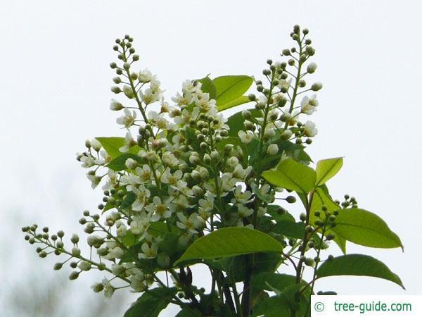 bird cherry (Prunus padus) flowers
