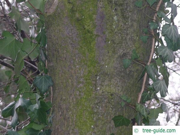 bird cherry (Prunus padus) trunk / bark