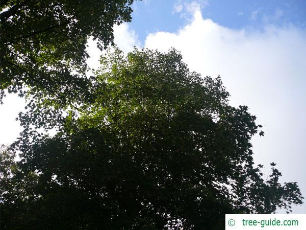 mongolian lime (Tilia mongolica) tree crown in summer