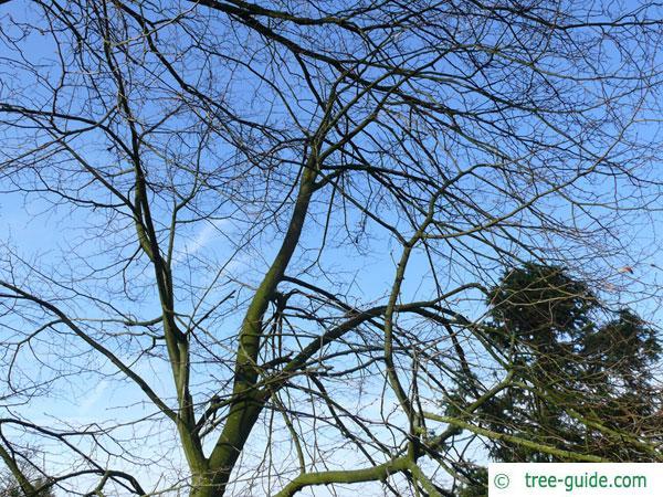 mongolian lime (Tilia mongolica) tree crown in winter